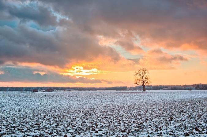 Oak Tree on snowy Fields at Sunset